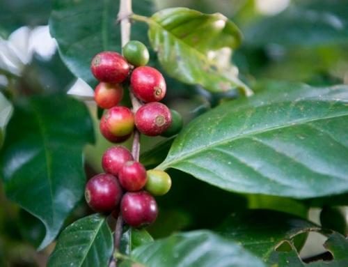 Cafeicultor comemora aprovação de defensivos